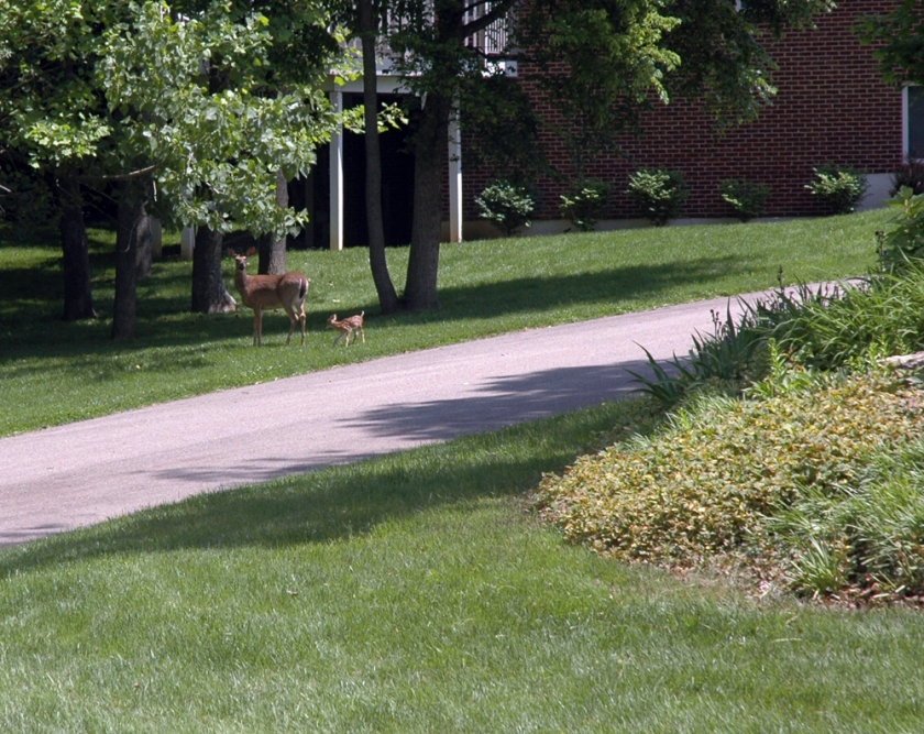 Doe returns to fawn