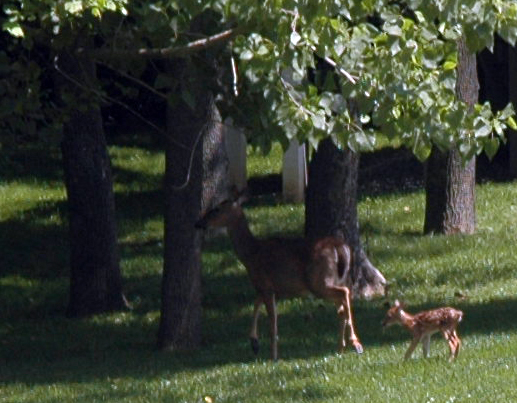 Doe walks into woods with fawn