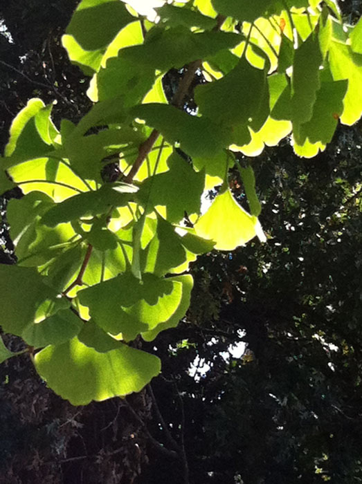 Leaves of a ginko tree