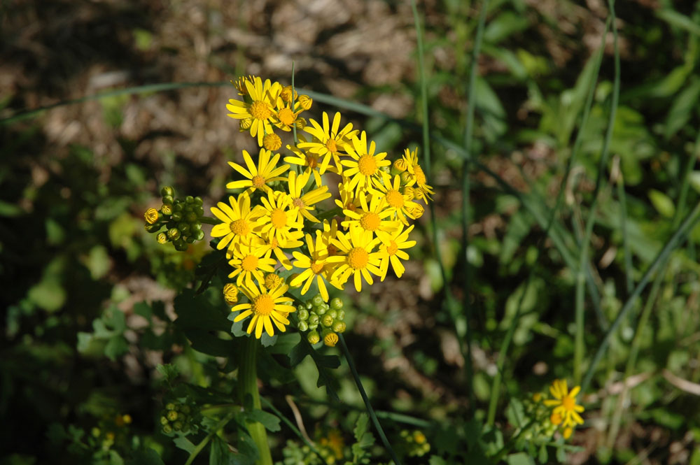 Wild for wildflowers christine m grote the yellow flower mightylinksfo