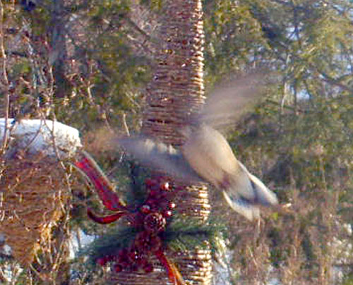 2012-01-11-hawk_maybe-crop