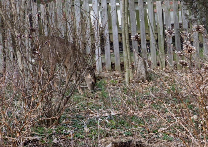 05-Deer_2013-03-28