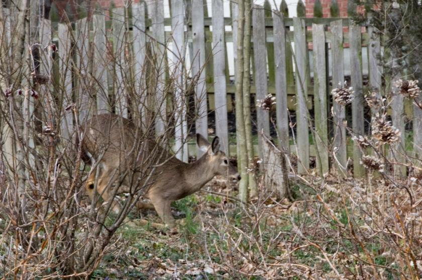 06-Deer_2013-03-28