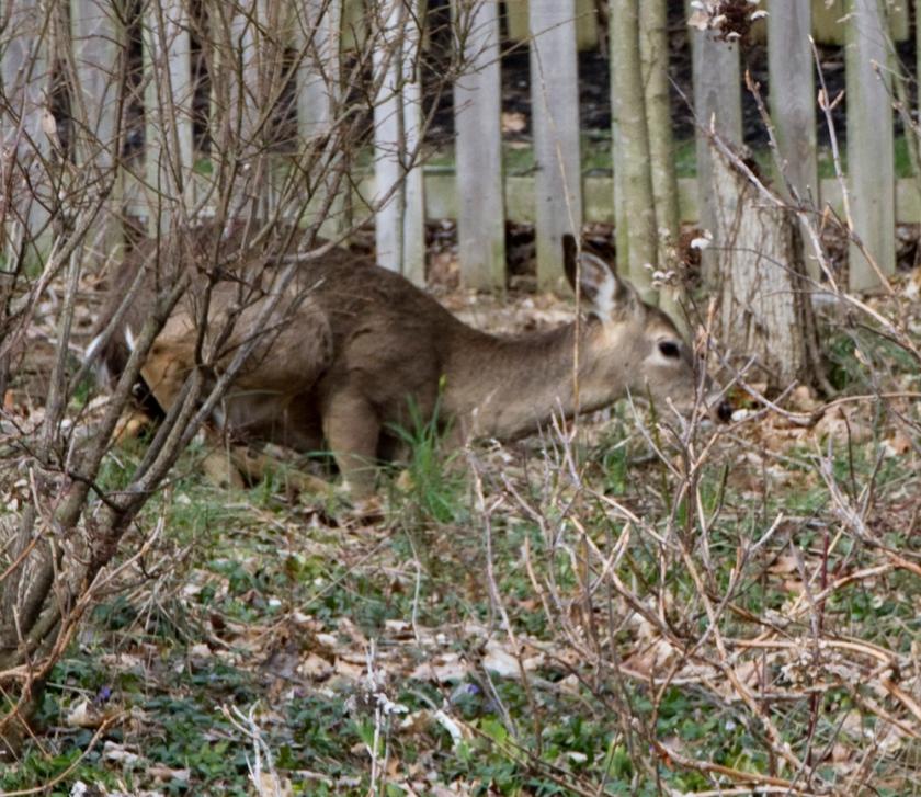 07-Deer_2013-03-28