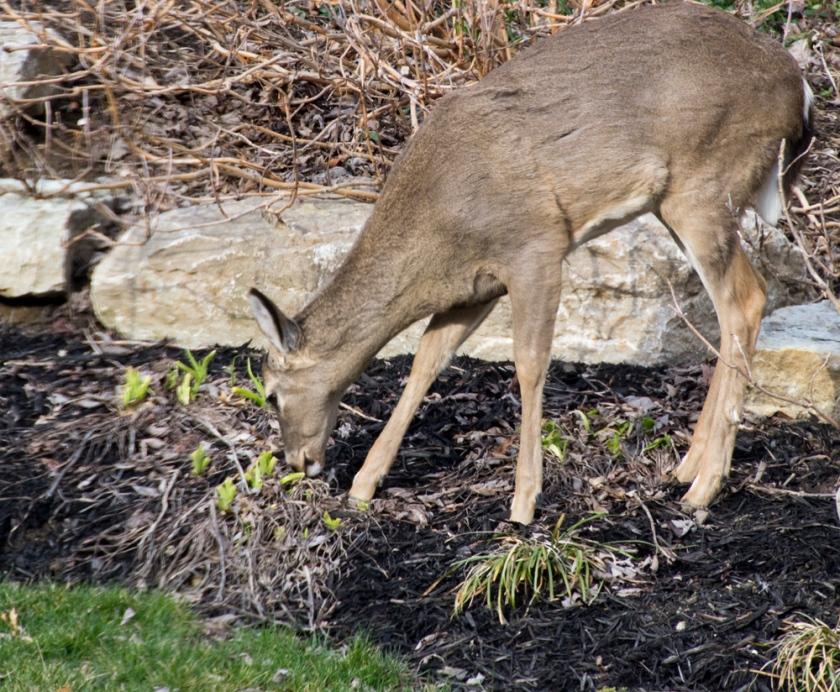 11-Deer_2013-03-28