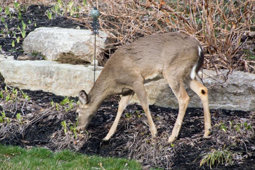 13-Deer_2013-03-28