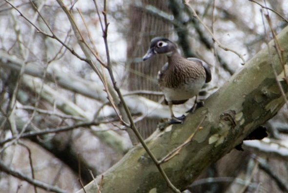 01-Female-woodduck-2013-04-10
