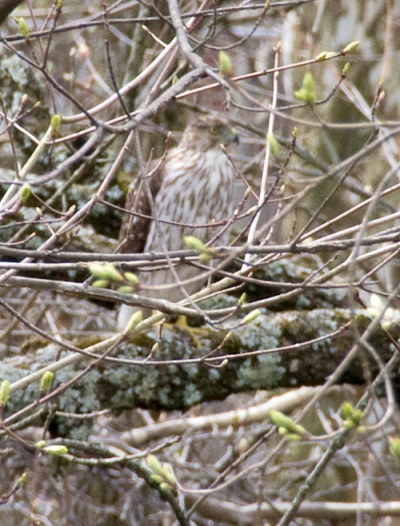 Red-tailed hawk, 2013-o4-10