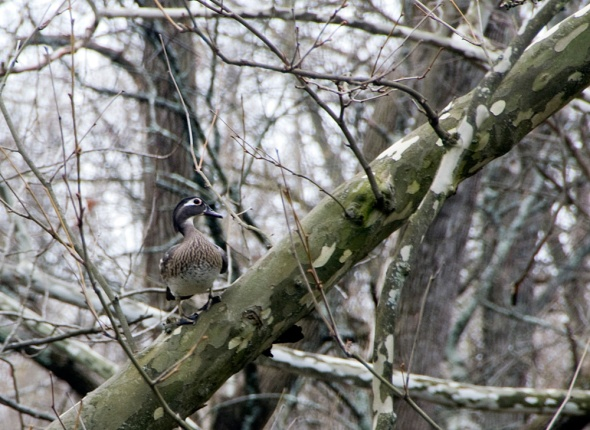 02-Female-woodduck-2013-04-10