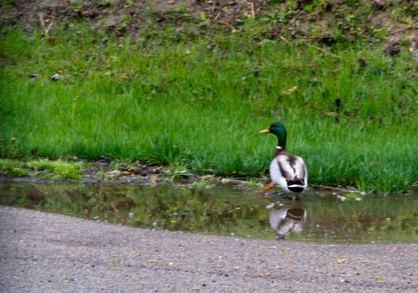 03-Ducks_in_creek-2013-04-19