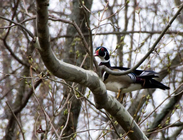 03-male-woodduck-2013-04-10