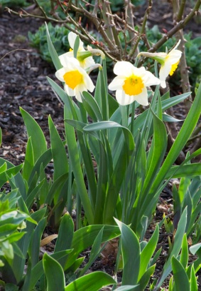 04-daffodils-April_10_2013- _15