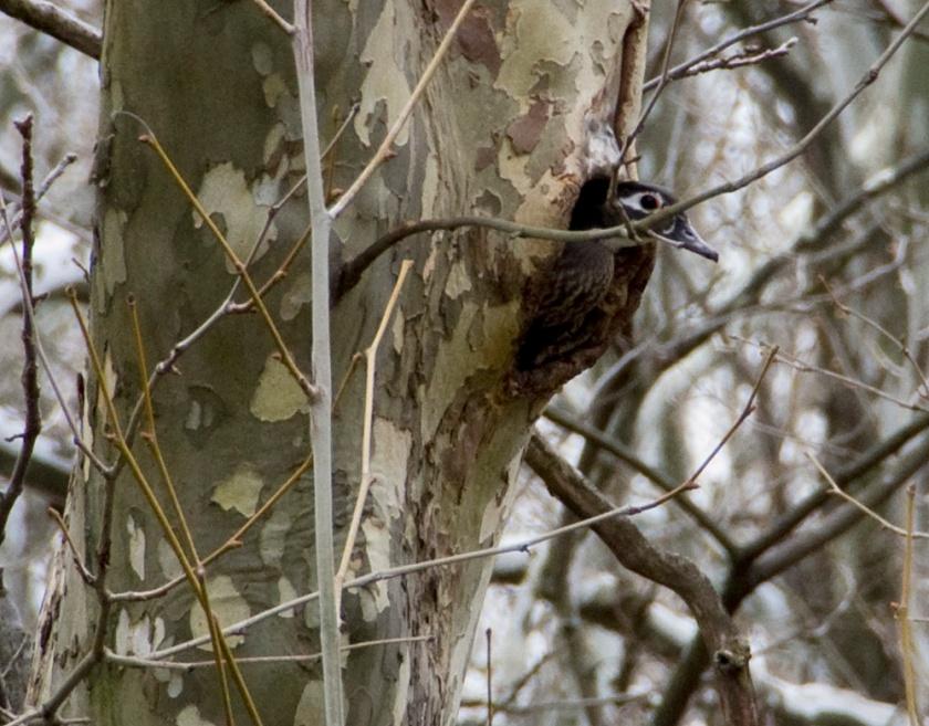04-Female-woodduck-2013-04-10