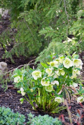 06-Lenten_rose-April_10_2013- _15