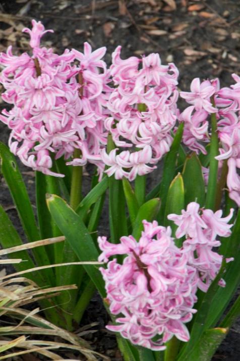 10-hyacinths-April_10_2013- _15