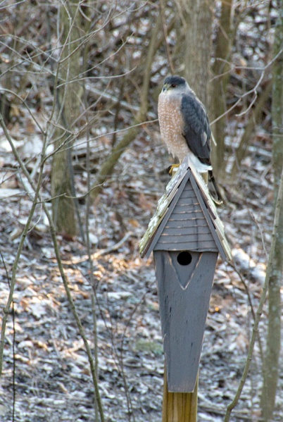 Sharp-shinned-hawk-2013-02-17