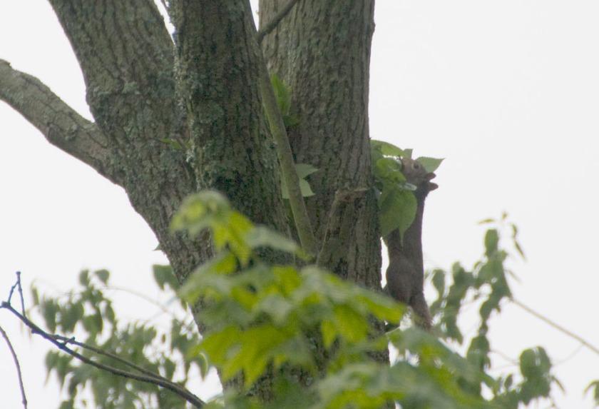01-Squirrel_nest-2013-05-19