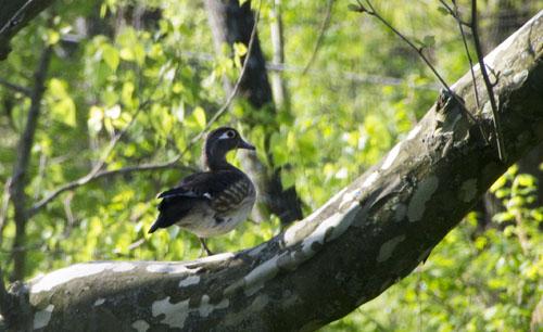 01-Wood duck - 2013-05-01 _32.-500