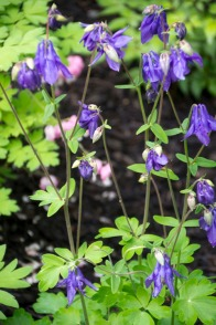 A close-up of one variety of columbine.