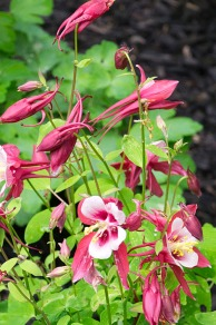 Another columbine.