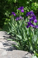 Irises. . .