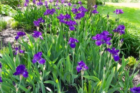 And more irises.