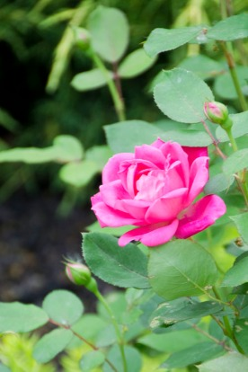 Knockout roses look good this early.