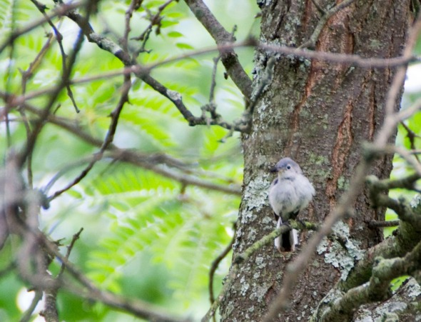 01-Blue-gray-gnatcatcher - 2013-06-02 _01