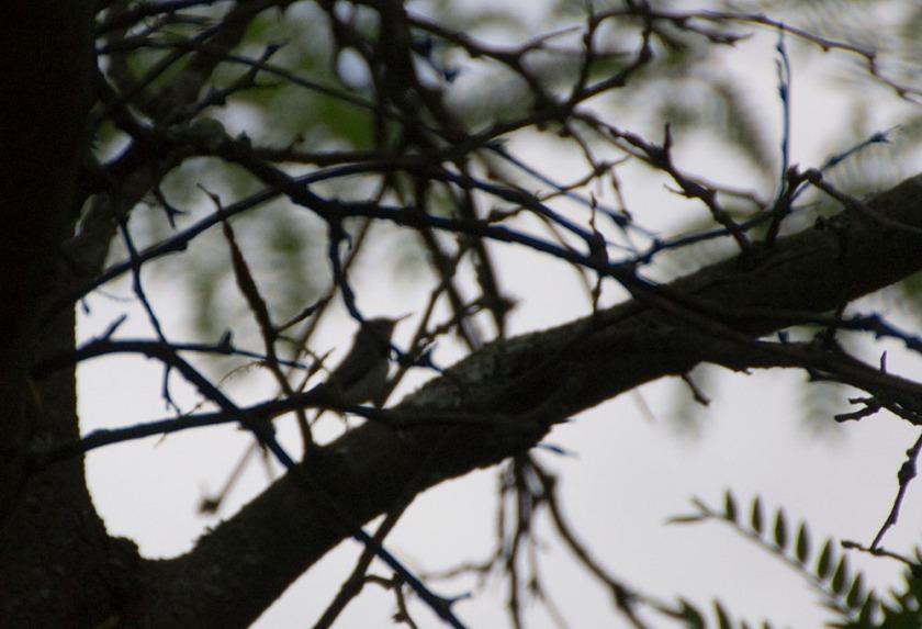 04-Blue-gray-gnatcatcher - 2013-06-02 _17