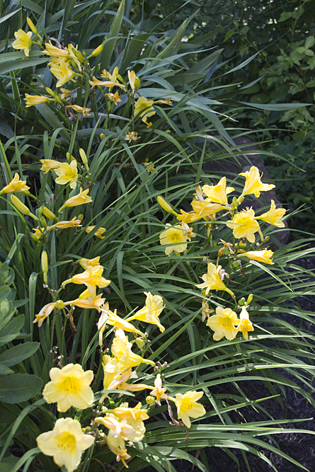 08-daylilies-2013-06-21