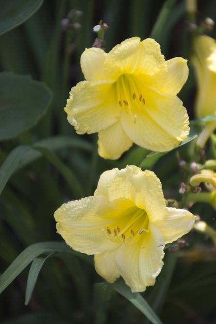 09-daylilies-2013-06-21