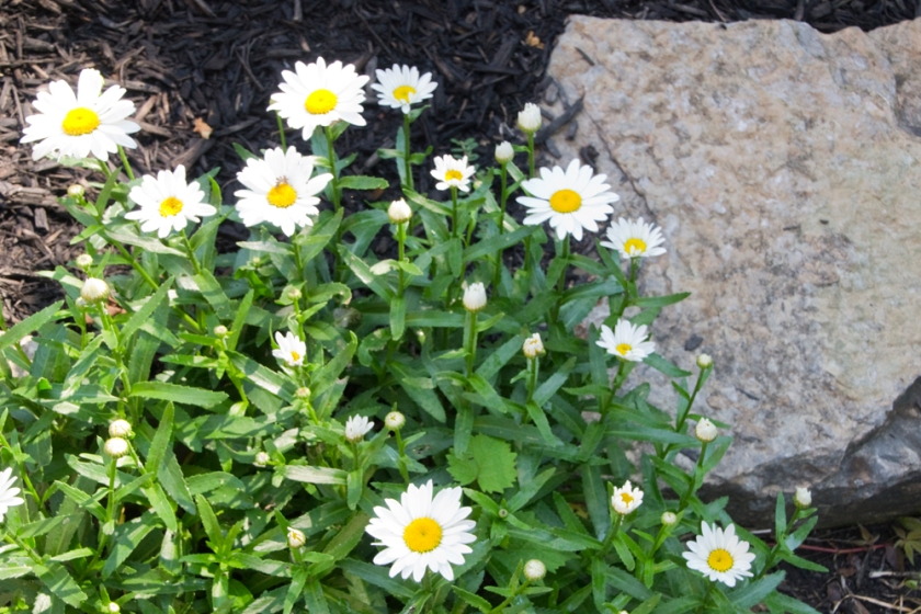 10-daisies-2013-06-21