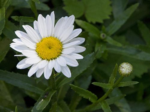 11-daisies-2013-06-21