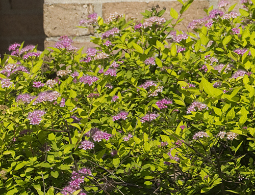 16-princess_spirea-2013-06-21