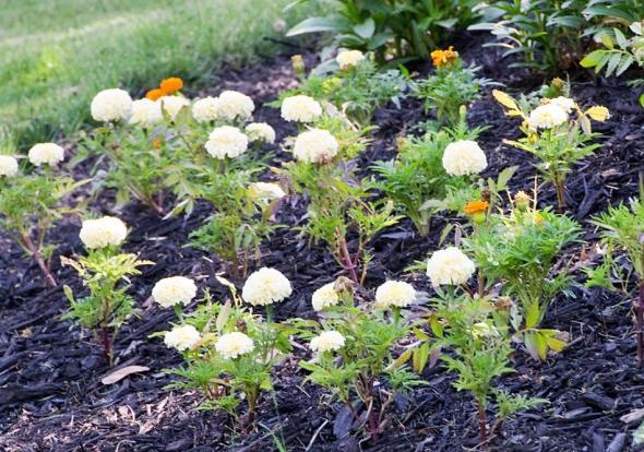 17-marigolds-2013-06-21