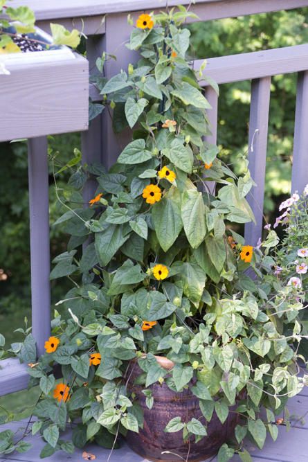 25-black_eyed_susans-2013-06-21