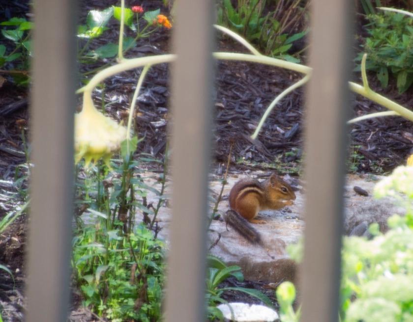 00-chipmunk-2013-07-26-10