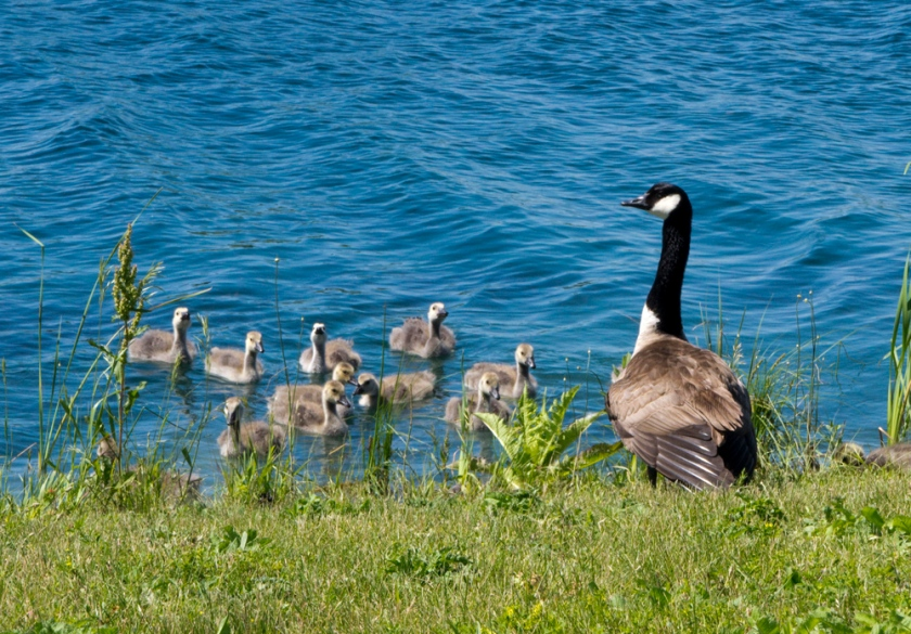 01-Geese-2013-06-13