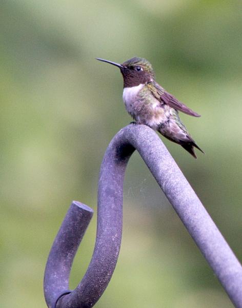02-Hummingbird-2013-06-04