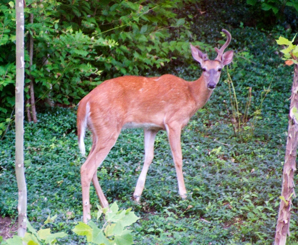 07-Young_buck-2013-06-04
