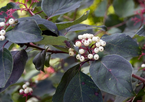 11-Dogwood_berries-2013-09-01