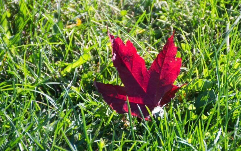 Red_leaf-2013-10-08
