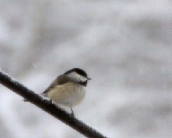 04-chickadee-2014-01-02