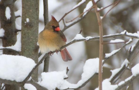 12-female cardinal-2014-01-02