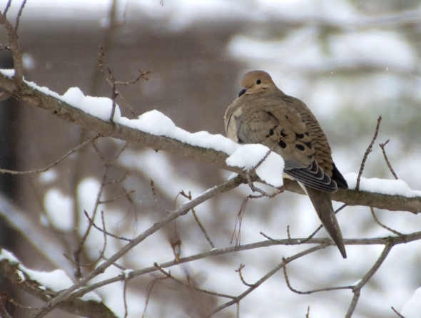 13-mourning_dove-2014-01-02