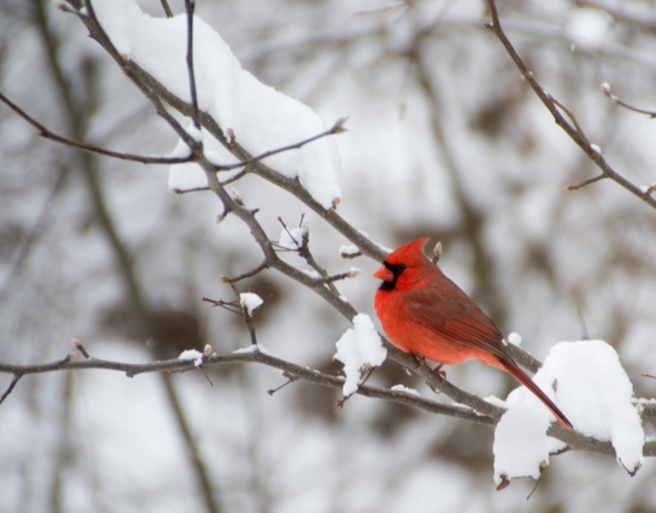 14-male_cardinal-2014-01-02