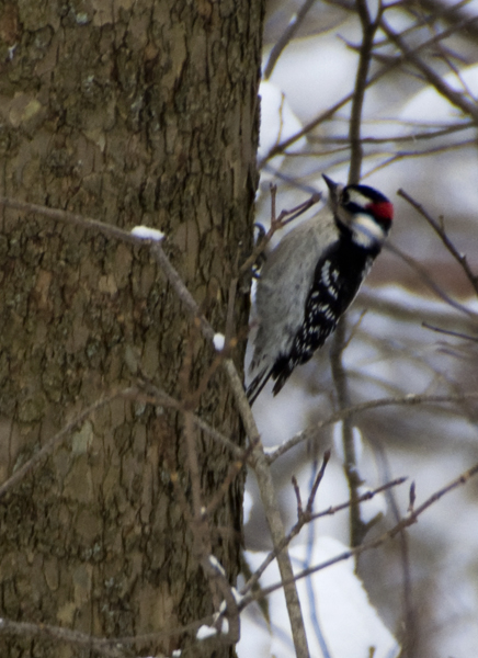 15-downy woodpecker-2014-01-02