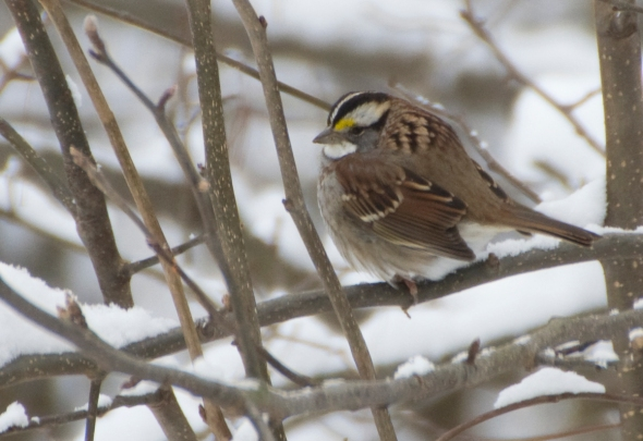 16-white-throated_sparrow-2014-01-02
