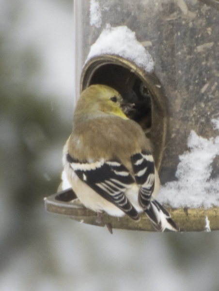 18-American_goldfinch-2014-01-02