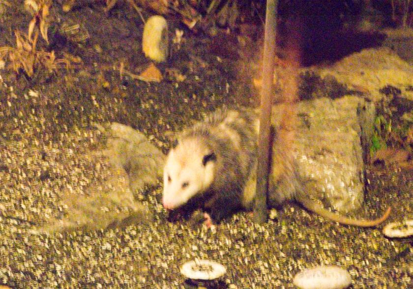 possum-2013-12-26